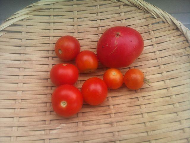 やはりお盆も近づくとトマトの収穫量もだんだん少なくなります。毎年のことではありますが、寂しくなります(T-T)脇芽が幾つか育ってきましたのでそれが順調に成長することを祈るばかりです。うまくいけば10月ぐらいには収穫できるかな??#家庭菜園 #トマト