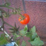 フルーツトマトは遂に最後の1個??