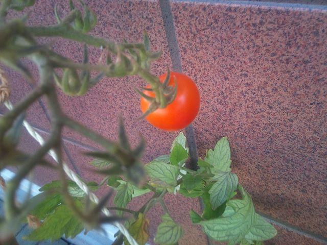 フルーツトマトは今日の収穫で遂に最後の1個となりました。これは美味しいのですが、脇芽があまり出ないのですよ。残念ですが、来年また作るのを楽しみにしようと思っていたら予想外の発見がありました。#家庭菜園 #トマト