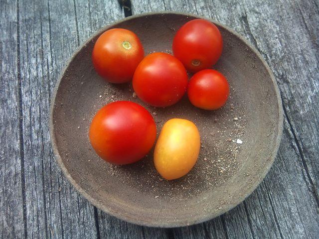 本日の収穫、だんだん数は少なくなってきましたがまだしばらくは収穫できそうです。脇芽が成長した苗からはイエロートマトが収穫出来ました。#家庭菜園 #トマト
