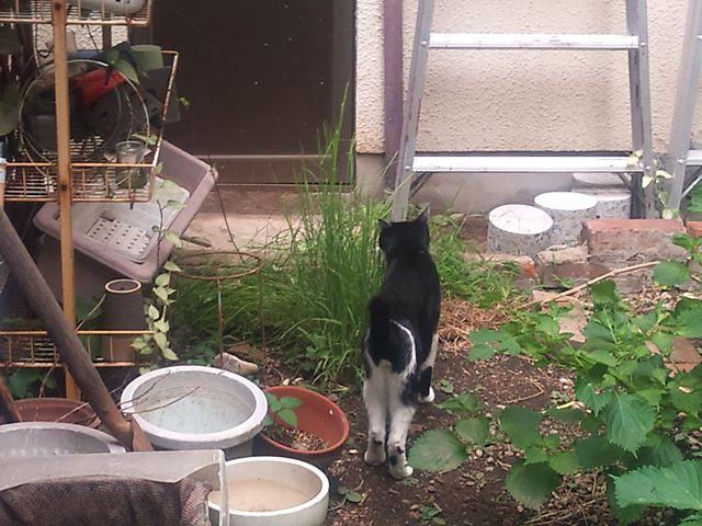裏庭に移植した猫草を食べているモグさん。しばらくお腹の調子が悪かったのですが猫草を置くようにしてからは体調がいいみたいです。たまたま時期的に治ったかはわかりませんが、結構気に入ってくれて頻繁に草を食べています。#猫 #cat
