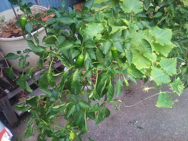 トマトが全くと言っていいほど実がつかなくなってきました。長さだけはどんどん伸びるのですけどね。花が咲いても実がつかずに散ってしまいます。その中では割とピーマンがコンスタントに採れています。#家庭菜園 #ピーマン