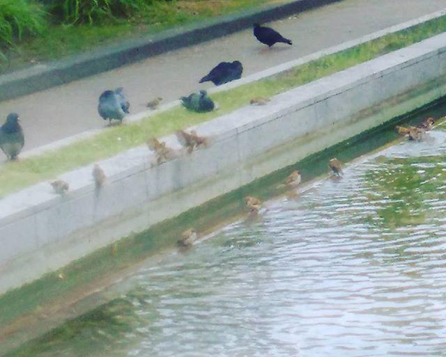 三宮の東遊園地にて、小鳥たちが水浴び中です#神戸 #雀