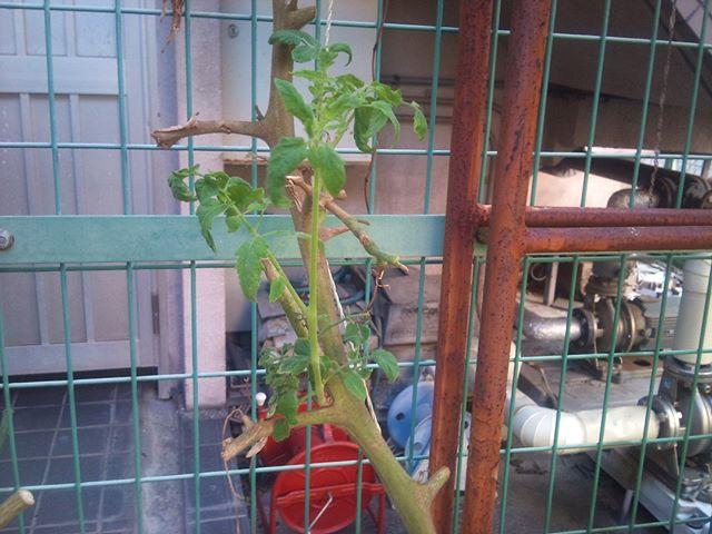 収穫も終わったトマトの苗から出てきた脇芽です。まだまだ小さいですが、成長することを期待してこのまま育ててみることにします。今もプチトマトの苗は育てているのですが、大玉トマトの苗は無くなりましたので、無事大きく成長してくれるといいのですけどね。#トマト #家庭菜園