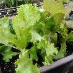 レタスも虫に食べられることもなく順調に成長してくれています