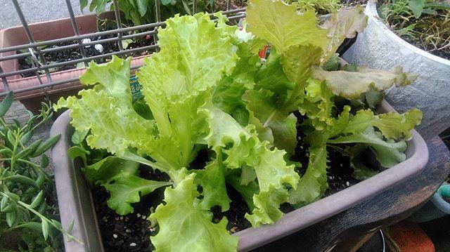 妻が育てているレタスも虫に食べられることもなく順調に成長してくれています。葉物は結構虫に食べられやすいので無事に成長してくれることも祈るばかりです。#家庭菜園 #レタス
