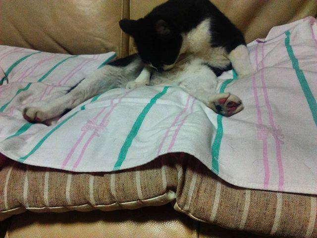 オッサンのように座り込むモグサン。もう少し行儀よくしましょう。#猫 #cat #おっさん猫 #モグ部長