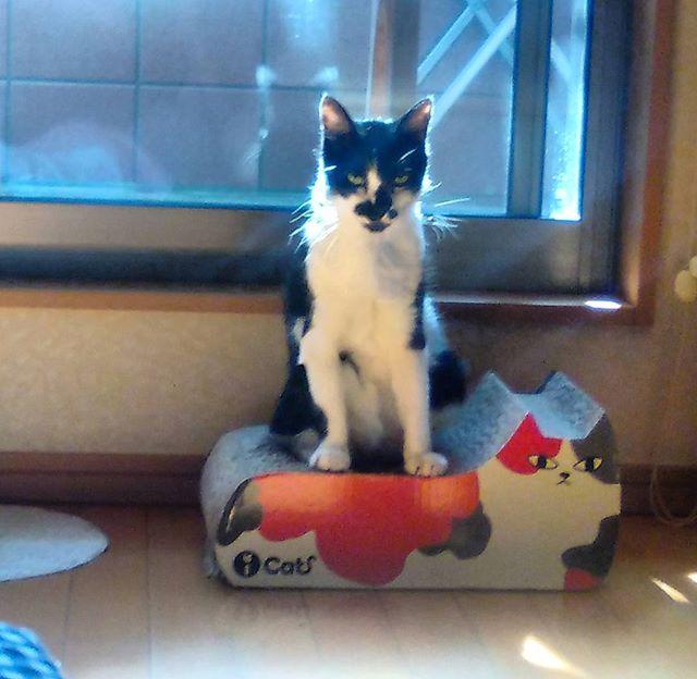 台風一過ですね。今日はいい天気ですモグさんは猫型の爪研ぎの上で日向ぼっこ中#猫 #cat