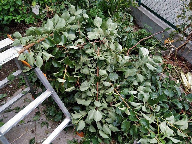 暑さも一段落しましたので木の剪定をすることにしました。梅の木とみかんの木、それとよくわからない木です。切っている間は気にならなかったのですが、切り終わってから見ると通れないほど大量の枝が。。細かくして堆肥に使いますのでしばらくはハサミで細かくする日々が続きそうです