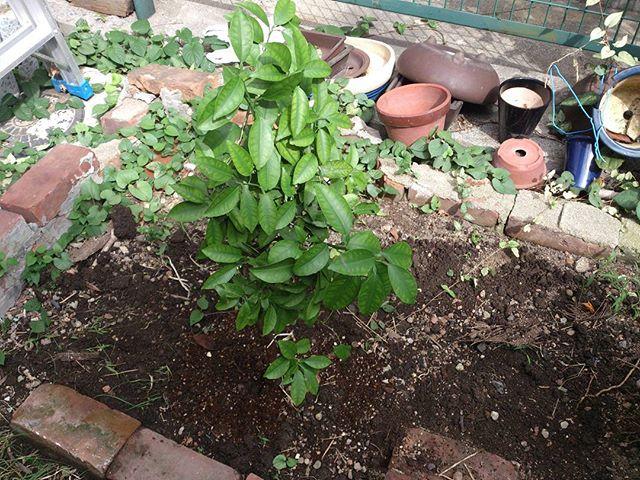 トマトもひと通り終わったので、整備してミカンの木を植えることに。元々鉢で育てていたものですが、直植えにして大きく育ってくれるといいのですが。