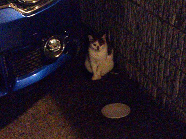 帰り道にて撮影。夜なので暗い写真になってしまいました。この猫は近所に住んでいるタマコさんです。大きな声で鳴くので夜にはちょっとした迫力が。ちなみにモグさんとは顔見知りです