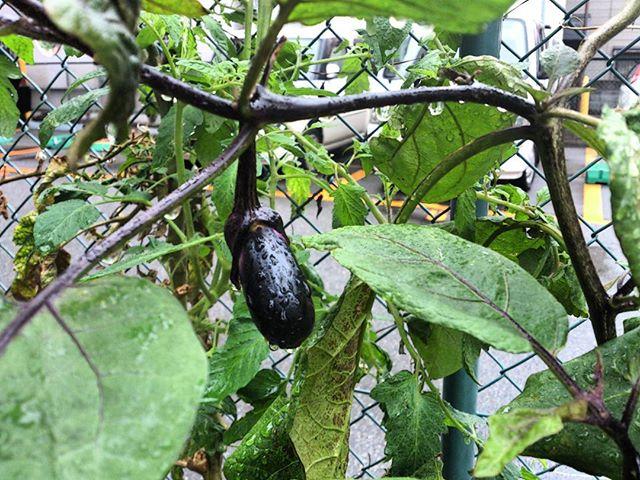 茄子がまた少しずつ実をつけてくれています。ナス割と気温が下がるまで収穫出来るのでありがたいです。