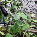 茄子は順調に大きくなってきてくれており、寒くなるまでは収穫出来そう