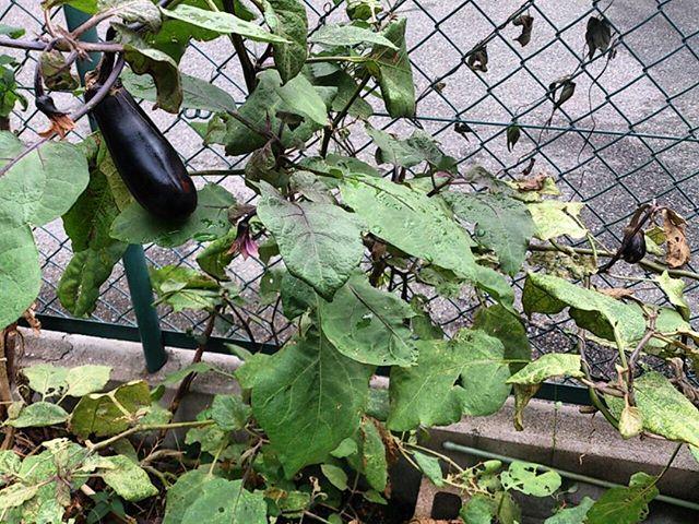 茄子は順調に大きくなってきてくれており、寒くなるまでは収穫出来そうです。3月に植えたナスですが、ロングランで採れるので嬉しいですね