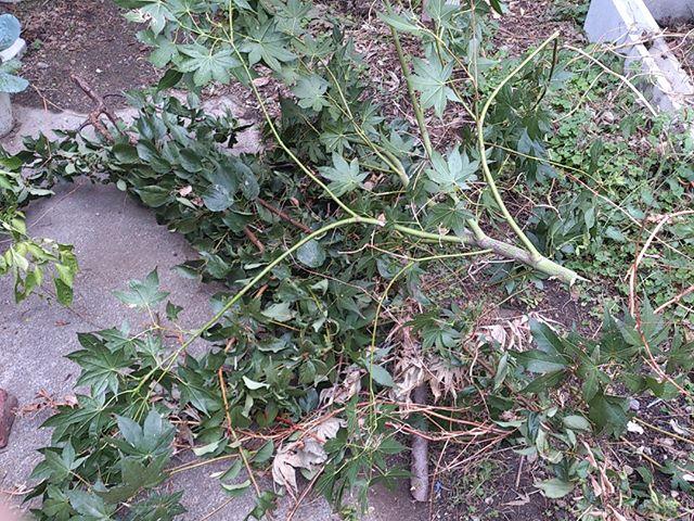 梅の木が少し伸びていると思って切っていると止まらなくなり再び庭に枝がゴロゴロと転がる結果になりました。腰も痛めているし程々にしなければ。しかしこれが転がっていてはまともに歩けないのでもう少しコンパクトにするまでがんばります。