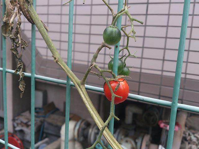 プチトマトが赤くなってくれました。だんだん気温も下がって来ていますのでそろそろ収穫も最後になりそうですねぇ