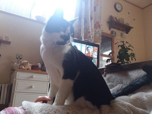 奥さんの膝の上で格好をつけているモグ氏。一体彼はどこを見ているんだろう。そしてそろそろ降りないと足がしびれてくるのだよ・・ #猫 #cat