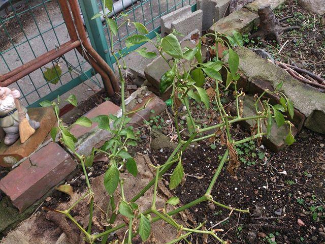 こちらはピーマンを余っている土地に植え替えたものです。もう気温も下がりますので難しいでしょうが、少しだけ実も着いてくれていますね。さてさて、春になるまで頑張れるかどうかやってみましょう。