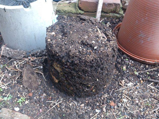ちなみに蓋を取り除いたものがこちらです。まだ未分解のものも一部残っていますが、体積は7割ぐらいに減っているような気がします。あと地面に直接置いていたので、ミミズ君が結構いますね。彼らも分解と良い土作りに役立ってくれたことでしょう。#家庭菜園 #コンポスト