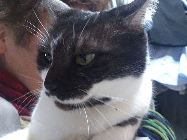 凛々しい顔のアゴちゃん。キリッとしたモグのような男前のアゴは女の子です。#ネコ #猫 #cat