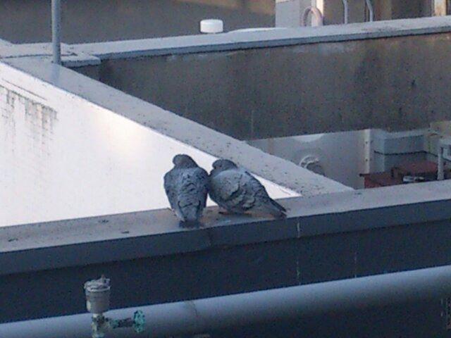職場で見つけた二羽の鳩です。鳩のカップルでしょうか。仲良きことは美しきかな
