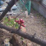 梅の実が少しずつ。開花しようとしています