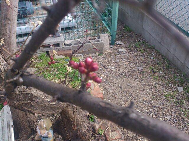 梅の実が少しずつ。買い替えしようとしています。まだまだ時間がかかりそうですが、花が咲くのが楽しみです。それにしても今年は蕾がたくさん。梅の実も沢山つくのでしょうか。 早く暖かくなってほしいものです。実が付くのが楽しみ