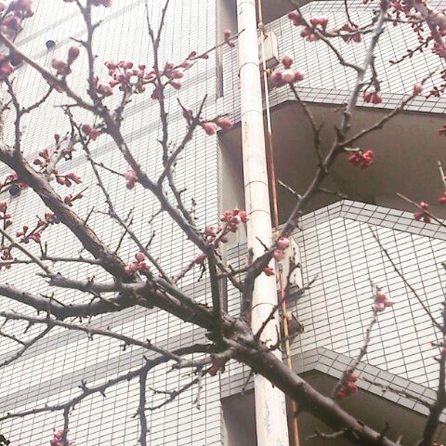 梅の花のつぼみも大きくなってきました。もう少しで咲きそうです。春が待ち遠しい。梅の花が咲いたら海を見ながら花見でもしよう。
