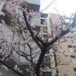 ついに梅が満開に!!春は近いぞ