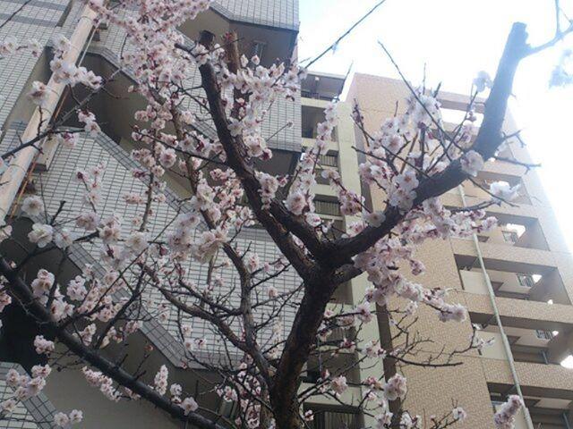 ついに梅が満開に!!春は近いぞ。さあ、そろそろ家庭菜園も再開しよう。冬眠はもう終わりさ( ̄ー ̄)ニヤリ