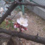 ウォーキング前に庭を覗いたらついに梅の花が開花していました!