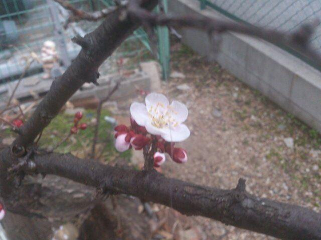 ウォーキング前に庭を覗いたらついに梅の花が開花していました。まだまだ花が咲いている木は少ないですが、これから順調に花が咲いていてくれることでしょう。今日はこれからウォーキングがてらドンキホーテに行ってきます。格安の2in1スタイル Windows 10が売ってるらしく、ちょっと楽しみ。ダイエットも兼ねて行ってきます!#梅 #ダイエット #ウォーキング
