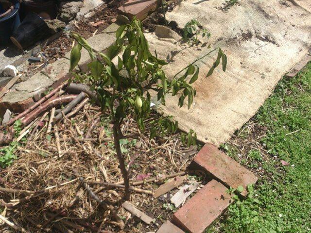 ミカンの木はあまり変化はありません。これから成長してくれるかねえ