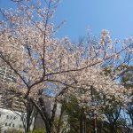 桜も満開なり!今週末ぐらいが花見に最適かな?