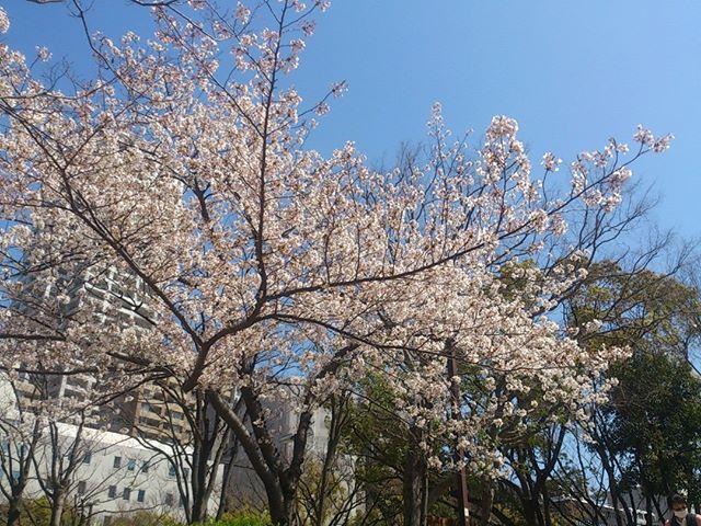 桜も満開なり!今週末ぐらいが花見に最適かな?しかし家庭菜園もしたいのに、明日はお仕事、これいかに。こき使ってはいけませんよ