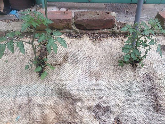 少しずつ大きくなっているプチトマト。まだまだ小さいですが、花も咲いてくれています。