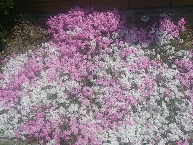 神戸三宮の花壇にて。私の家庭菜園は野菜ばかりですが、少しは花も植えてみようかな