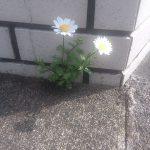 種が飛んだのか、煉瓦の隙間から花が成長してきました。