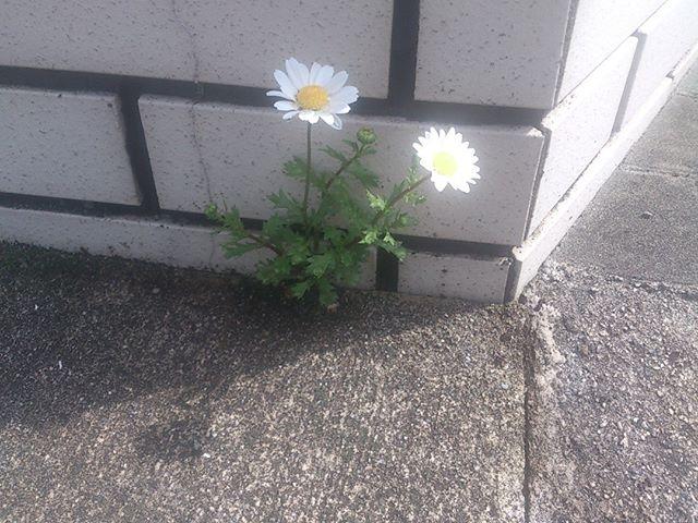 種が飛んだのか、煉瓦の隙間から花が成長してきました。植物の生命力は素晴らしい。