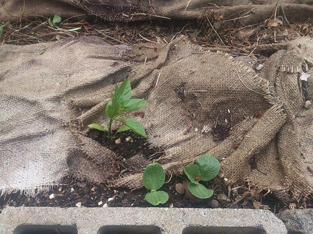 こちらはピーマンの苗です ピーマンはあまり大きく変化は見られませんが少し葉が増えてきました カボチャも発芽しましたが、かぼちゃはどんどん大きくなり場所が足りないのでこれから 抜かせていただくことにします ごめんよ