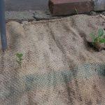 こちらは直植えのピーマン。左にひょこっと生えているのは雑草君です。