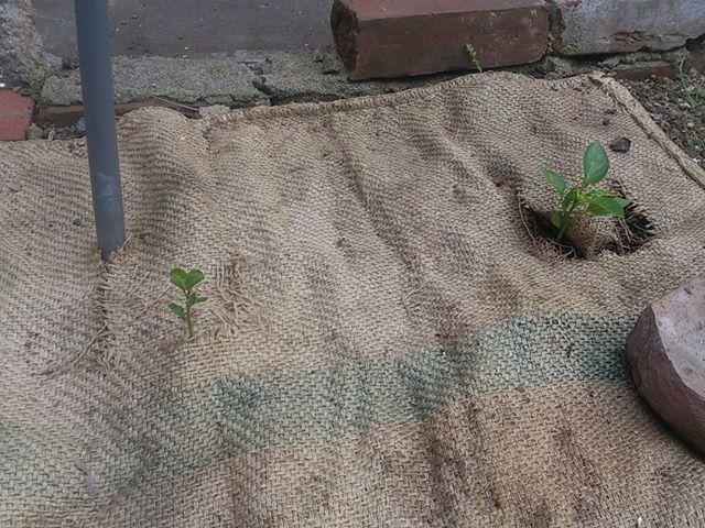 こちらは直植えのピーマン。左にひょこっと生えているのは雑草君です。マルチングの隙間から生えてきたたくましい奴です。しばし放置しておきましょう。