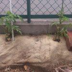 大玉トマトの苗も結構大きくなってきました