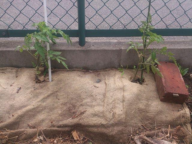 大玉トマトの苗も結構大きくなってきました 来週には新しいないも購入する予定です ところで今日は風がとても強い まさに春の嵐です 風で吹き飛ばないように少し紐でくくることにしました