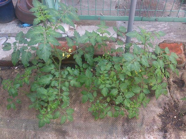 3月に購入したトマトも大きくなってきました。しかし脇芽のお手入れしていなかったので ちょっととんでもないことになってきました。どれが脇芽かも分かりにくくなってきていますが一度整理してあげよう。