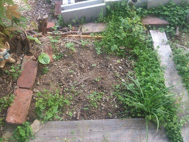 紫蘇の予定地は雑草が伸び放題。紫蘇以外にはそろそろお引越しor堆肥化していただこう。#家庭菜園 #紫蘇 #堆肥