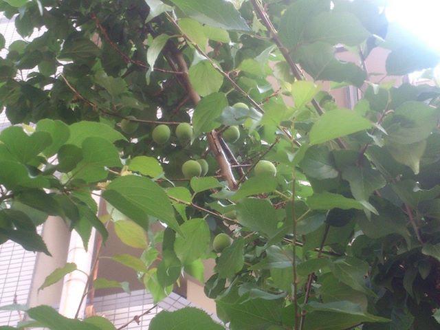 梅の実は今年も順調です。昨年に比べるも少ないかな?これからだ。頑張ろう