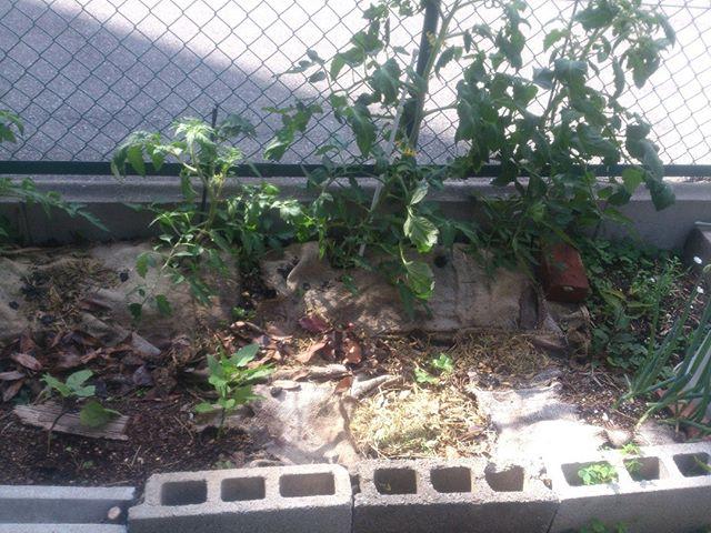 大玉エリアゾーン。こちらは陽当りが良く成長速度も速い!2週間前に買った苗もなかなかの大きさに!しかし一方でナスがダンゴムシに食べられるという悲劇も。茎がかなり細くなりやばいかもしれません。ダンゴムシは枯葉を食べてなさい。