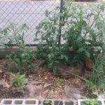 だんだんと大きくなる大玉トマト。収穫の時は近い?