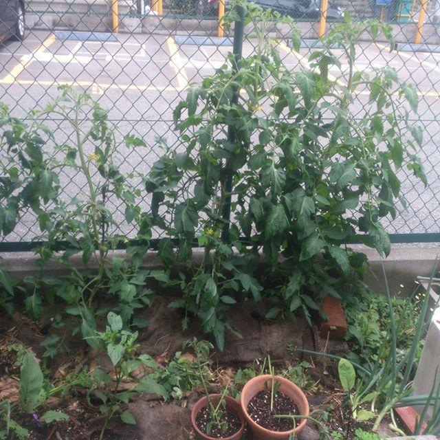 大玉トマトゾーンです。大玉トマトも大きくなってきました。収穫はまだまだ先になりそうです。